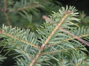 identification, sapin, Abies alba