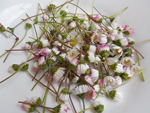 Inflorescences de Bellis perennis