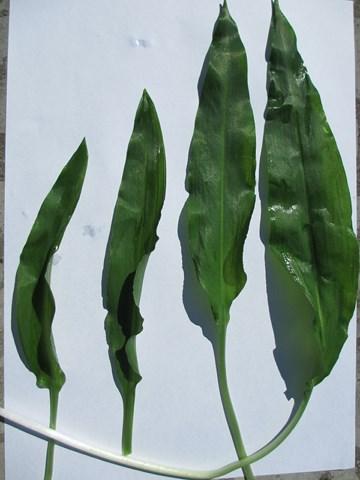 feuilles ado